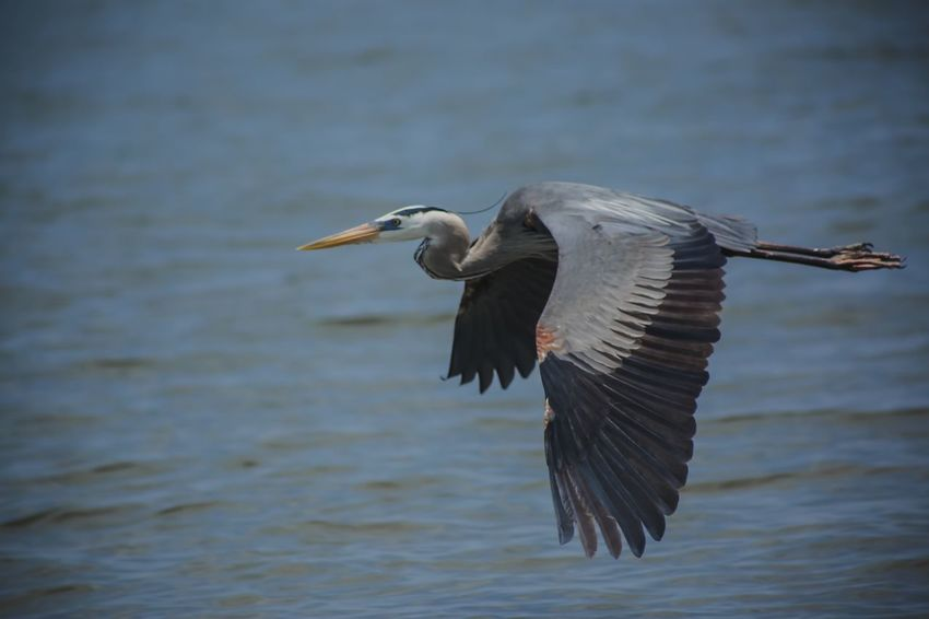 Heron Bird Animals In The Wild Animal Wildlife Animal One Animal Animal Themes Vertebrate Flying Water Spread Wings No People Waterfront Mid-air Focus On Foreground Day Water Bird Nature Flapping Motion