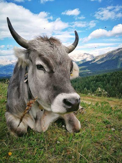 Passo Oclini Sky Cloud Cloud - Sky Hill Mountain Nature Italy South Tyrol Bolzano Trentino Alto Adige Landscape Alps Dolomites Alpine Alto Adige Südtirol Bolzano - Bozen Green Cow Cattle Animal