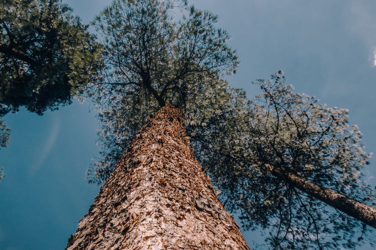 Vista de un árbol Tree Plant Sky Low Angle View Nature No People Tree Trunk Trunk Day Branch Growth Outdoors Beauty In Nature Directly Below Tranquility Tall - High Diminishing Perspective Blue Textured  Non-urban Scene Bark Tree Canopy  The Great Outdoors - 2019 EyeEm Awards
