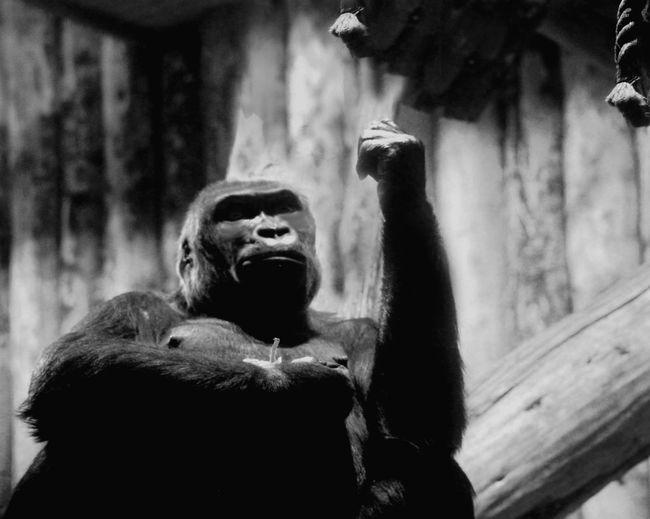 Gorilla sitting on wood in zoo