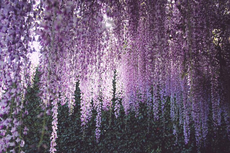 Full frame shot of purple flowers