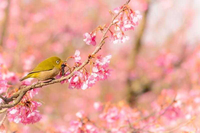 Cherry Blossoms Cherry Blossom Japanese White-eye Cherry Blossoms 🌸🌸 Pink Color Flowering Plant Branch Tree Animal Animal Themes Flower Vertebrate Beauty In Nature No People Animal Wildlife Blossom One Animal Springtime Perching Nature Animals In The Wild Plant Bird Close-up