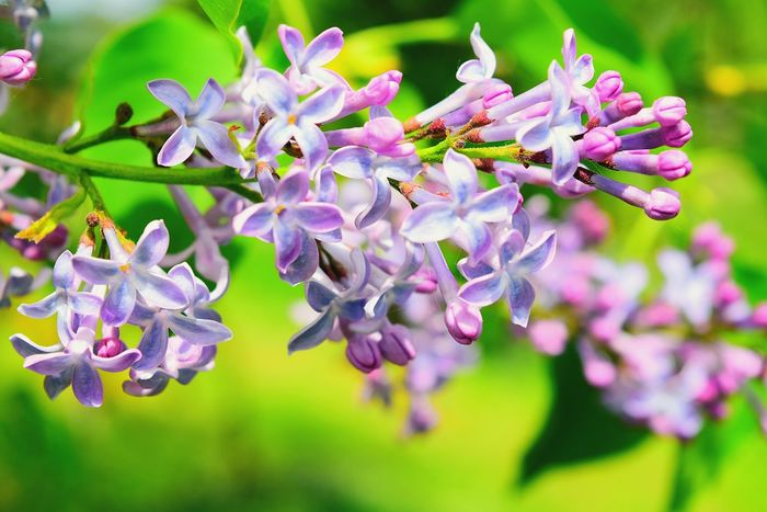Flower Purple Nature Beauty In Nature Blossom Petal Close-up Fragility Outdoors Multi Colored No People Springtime Day Plant Branch Flower Head Freshness Tree Lilac Bush EyeEm Nature Lover Colours Of Nature Lilac Flower Nature_collection Outdoor Photography Beauty In Nature