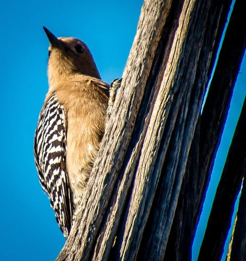 Low angle view of woodpecker against blue sky