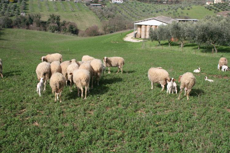 Meadow Pascolo Pascolodipecore Pecore Pecorelle Sheep Sheep Grazing Sheep Ranch
