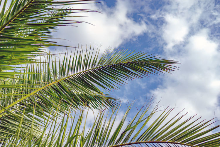 Sommer Sonne Hitze Ferien Palmen Himmel Wolken Plant Growth Palm Leaf Green Color Palm Tree Leaf Cloud - Sky Tree Nature Sky Tropical Climate Beauty In Nature No People Tranquility Day Outdoors Low Angle View Close-up Plant Part Frond Tropical Tree Coconut Palm Tree