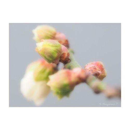 ❤️梅の蕾❤咲き始めて来ましたよ〜 Flower Japan 東京 日本 White Flower Olympus Photography Playground Japan Photography Olympus倶楽部 Nature