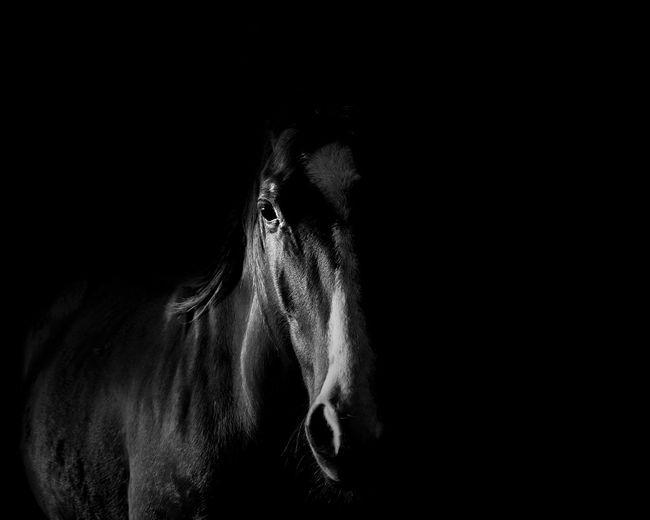 Black and white horse in shadows close-up. Horse Black Blackandwhite Equine Equestrian Shadows Light And Shadow Close-up Mane Iris - Eye Stable Hoofed Mammal Animal Nose Working Animal Animal Eye Vision Livestock