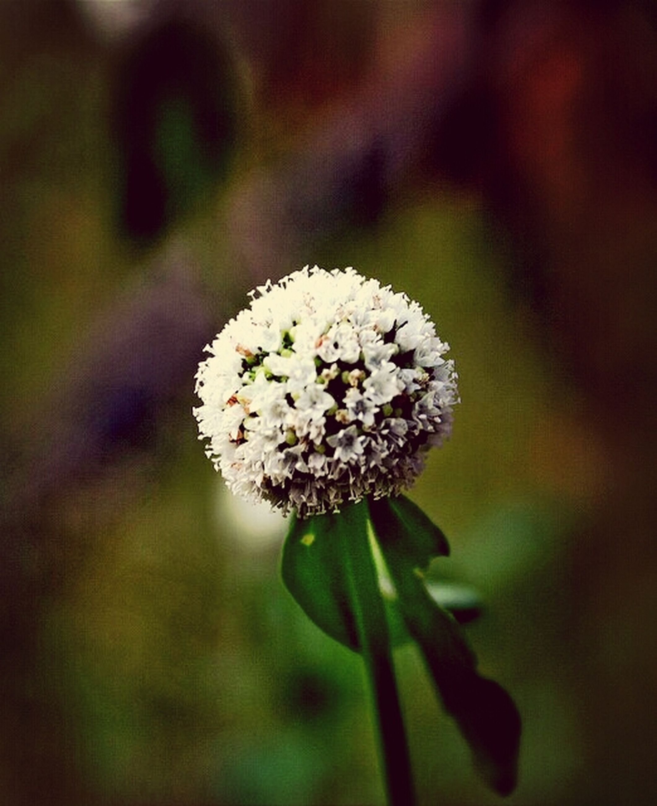 focus on foreground, close-up, growth, white color, fragility, nature, cold temperature, winter, flower, snow, beauty in nature, freshness, season, plant, selective focus, frozen, day, outdoors, stem, weather