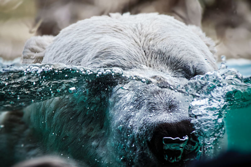 Polar bear is diving with his head under water
