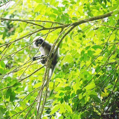 ค่างแว่นถิ่นใต้ Dusky leaf monkey Vscocam Wild Wildlifeplanet Wildlife Wildlifephotography Cute Animals Thailand Amzthld Igersth Nikonnofilter Nikonphotography