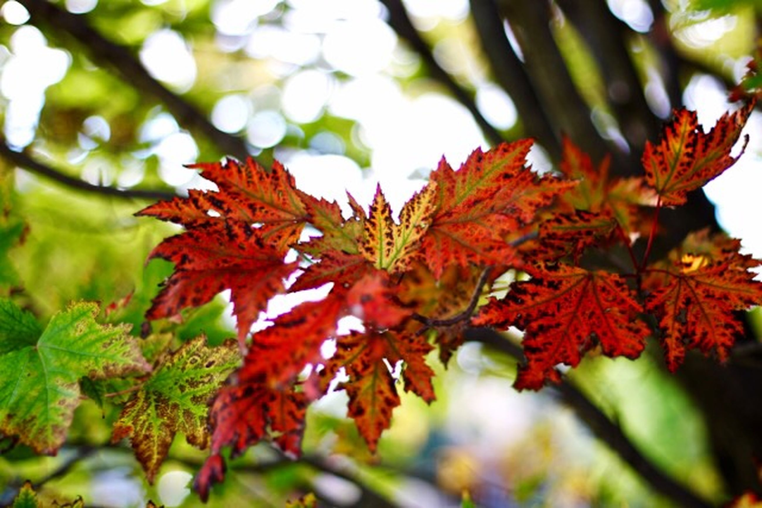 autumn, leaf, change, season, tree, leaves, orange color, branch, nature, maple leaf, red, focus on foreground, growth, close-up, leaf vein, beauty in nature, maple tree, tranquility, day, selective focus