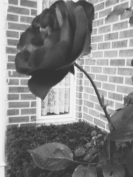 Does anything scream romance like a Black rose? Vintage Roses EyeEm Best Shots - Black + White Flower Collection 2015