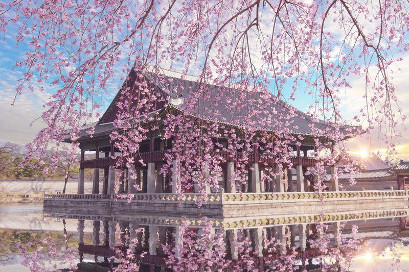 Cherry Blossom Gyeongbokgung Korea Seoul Seoul, Korea Architecture Beauty In Nature Blossom Chery Flower Gyeongbokgung Palace, Seoul Nature No People Sky Spring Tree