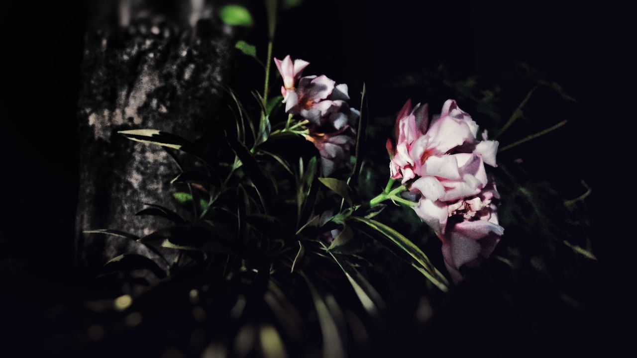flower, fragility, petal, nature, growth, selective focus, plant, beauty in nature, no people, flower head, night, close-up, freshness, outdoors, black background, animal themes