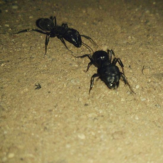 Antman Follows Antwoman:-)