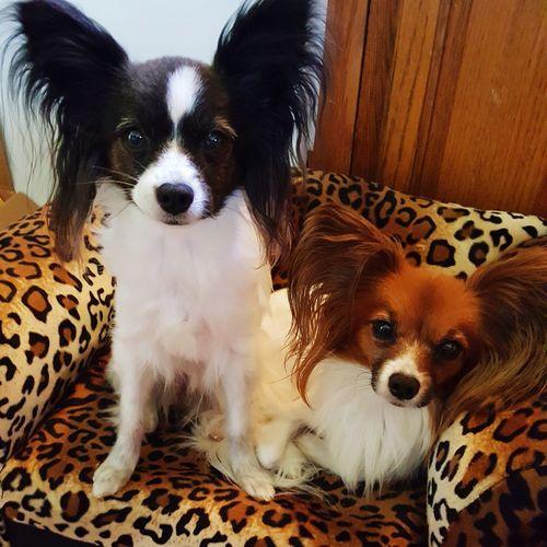 Dogstagram Ilovemydog Dogslife Mansbestfriend Papillion, Dog, Cute, Precious, Furry Pet Portraits Connected By Travel
