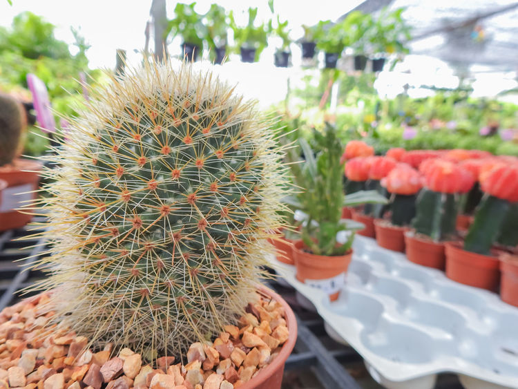 Cute green cactus and succulents in orange pots,Tropical plants in plant market Beauty In Nature Cactus Close-up Day Flower Focus On Foreground Freshness Green Color Growth Nature No People Outdoors Plant Prickly Pear Cactus Sky Spiked Thorn