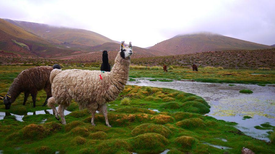 Lamas On Lakeshore