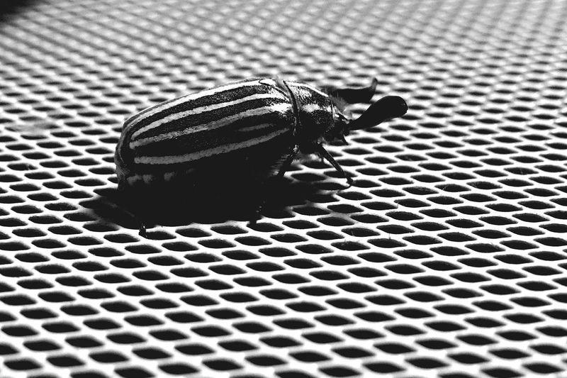 Beetle Bug Black And White Photography Black And White Black & White Summertime Summer Bug