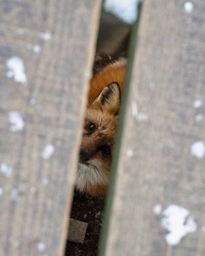 Peeping Fox