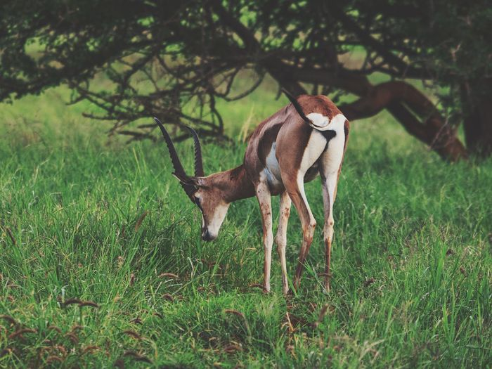 A lone antelope grazing at taita hills wildlife sanctuary, voi, kenya