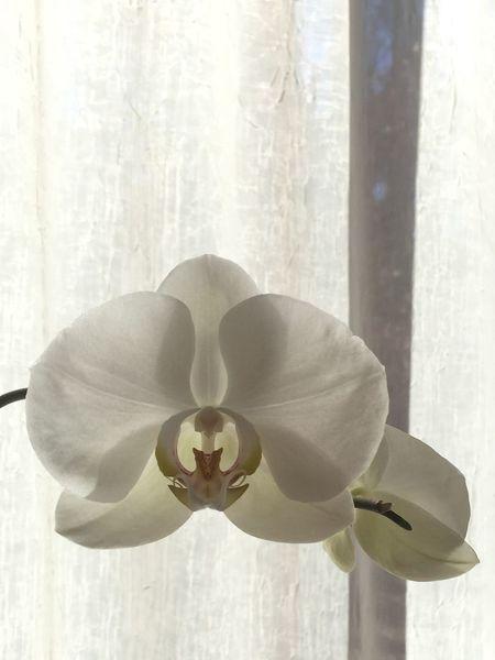 Phalaenopsis. iPhone 6, Camera +, no edit First Eyeem Photo