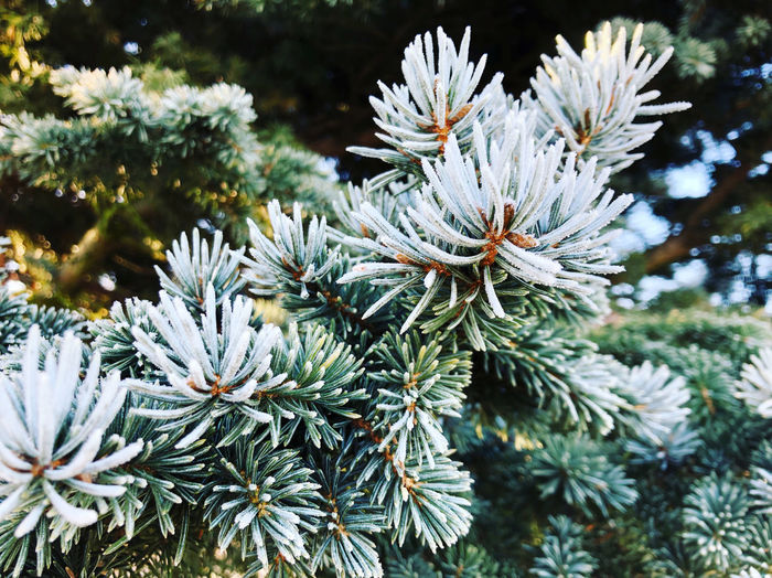 Close-up of pine tree in snow