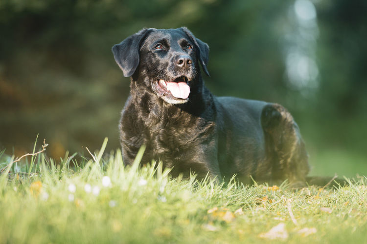 Black labrador retriever dog portrait lying in the forest with grass in the foreground