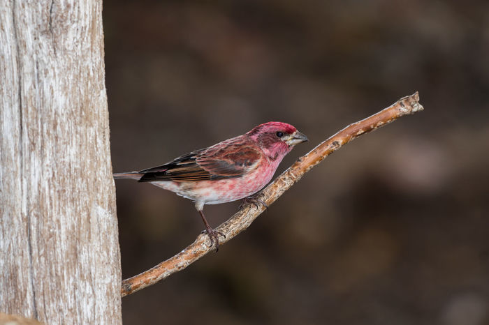 Male Purple Finch perched on a stick Bird Photography Finch Nature Animals In The Wild Bird Bird Perched Close-up Nature One Animal Outdoors Perched Purple Finch Stick Tree Wild