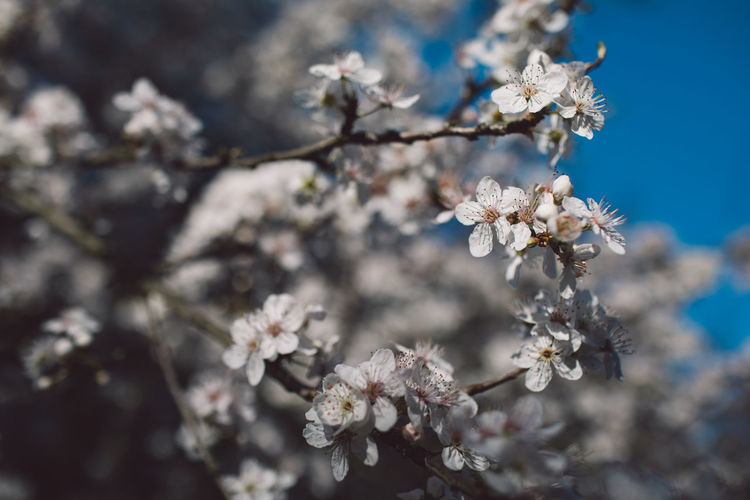Flowering Plant Flower Fragility Plant Freshness Vulnerability  Blossom Beauty In Nature Springtime Growth Close-up Nature Tree Branch Day Cherry Blossom White Color No People Focus On Foreground Selective Focus Flower Head Cherry Tree Outdoors Pollen Bunch Of Flowers