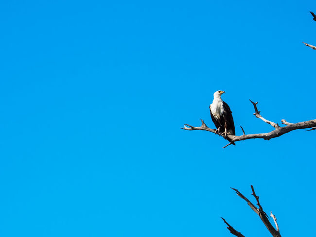African fish eagle standing still on dry tree branch with blue sky looking to right side Botswana Chobe National Park Africa African Fish Eagle Animal Animal Themes Animal Wildlife Animals In The Wild Bird Blue Branch Clear Sky Copy Space Eagle Low Angle View Nature One Animal Outdoors Perching Plant Predator Safari Sky Tree Vertebrate