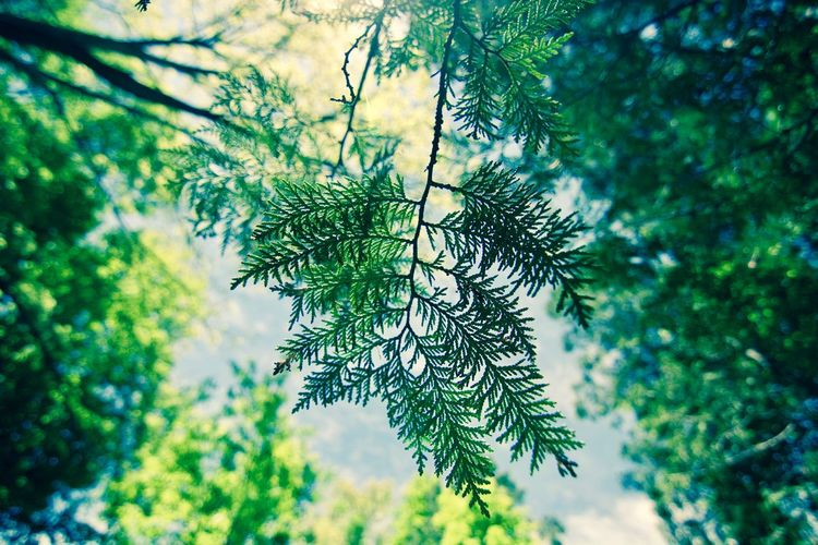 Beauty In Nature Branch Close-up Coniferous Tree Day Fir Tree Focus On Foreground Forest Green Color Growth Leaf Leaves Low Angle View Nature Needle - Plant Part No People Outdoors Pine Tree Plant Plant Part Selective Focus Tranquility Tree