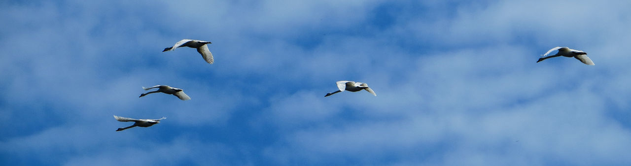 Flying Swans Flying Swan Swans Animal Themes Animal Wildlife Animals In The Wild Bird Blue Blue Sky Day Flying Flying Birds Mid-air Nature No People Outdoors Sky Spread Wings Swan