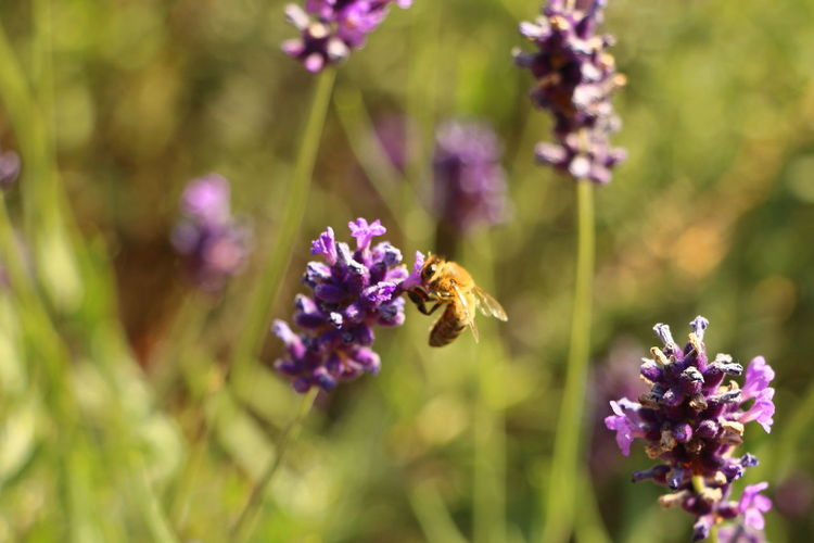 Bee on the lavander Animal Themes Animal Wildlife Animals In The Wild Beauty In Nature Blooming Buzzing Day Flower Flower Head Focus On Foreground Fragility Holland Park, London Insect Kyoto Garden Lavender Nature No People One Animal Outdoors Plant Pollination Purple