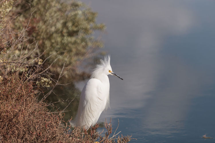 Close-Up Of Snowy Egret By Lake