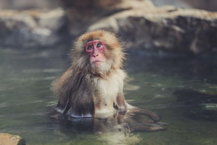 Monkey in the lake