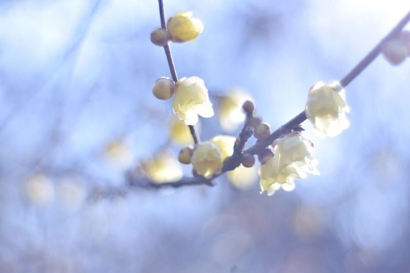 蝋梅 ロウバイ 蝋梅 Nature Flower Fragility Twig Beauty In Nature Close-up Day Growth Outdoors No People Low Angle View Tree Branch Springtime Freshness Sky Flower Head Shades Of Winter EyeEmNewHere