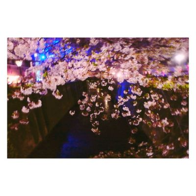 Night Cherry Blossoms Picture in Tokyo Check This Out Hello World Taking Photos Spring Love Beautiful Enjoying Life 🌸🌸🌸