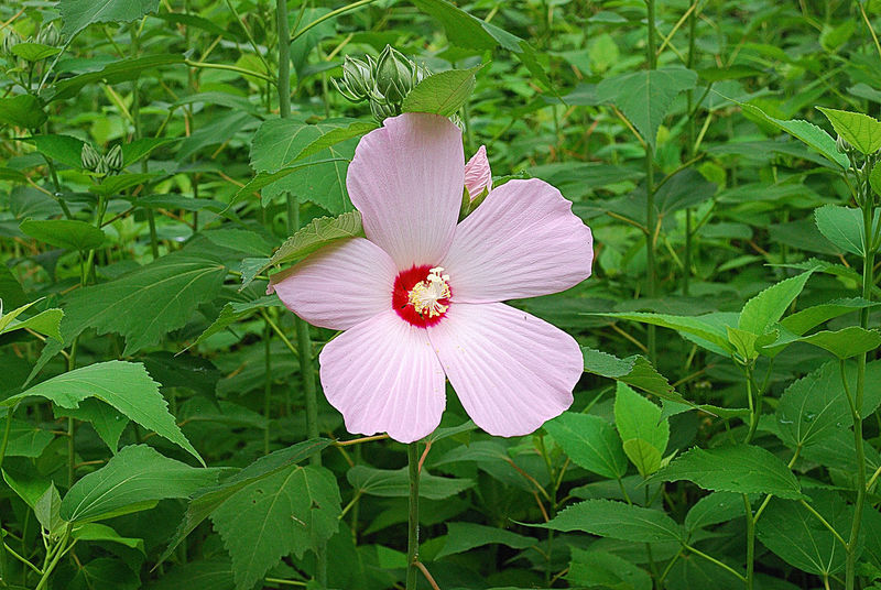 Rose Of Sharon Photography Twig Bright Flower Head White Color Flowering Plant Green Color Hibiscus 🌺 Beauty In Nature Close-up No People Korea Freshness Petal Beautiful:* Springtime Leaf Stamen Nature Flower Gardening Pink Color Formal Garden Sunlight