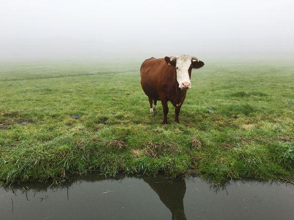 Een Eenzame STIER in de Weide en de Mist . A Lonely Bull in the Meadow and the Mist.
