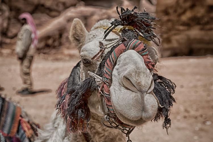 Close-up portrait of dromedary camel