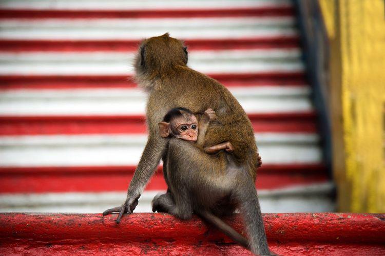 Monkeys Temple Pattern Babymonkey Monkeys Monkey ASIA Animal Wildlife Focus On Foreground Primate One Animal Animals In The Wild Red Mammal Sitting Close-up
