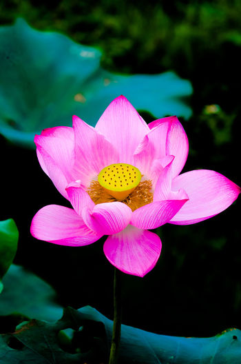 lotus Pink Flower Lotus Yellow Petal Insect Water Lily Water Plant