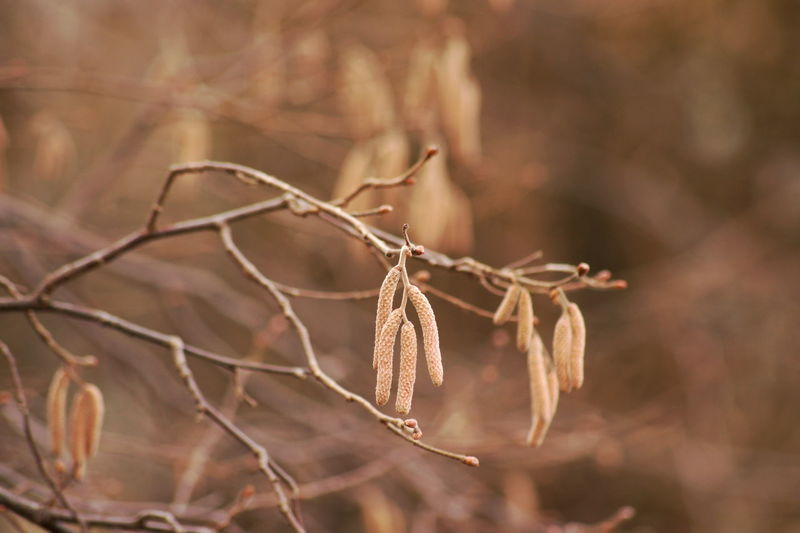 Beauty In Nature Branch Branches Browny Close-up Corylus Day Early Spring Hazelnut Hazelnut Bush Hazelnut Plant Hazelnut Shrub Hazelnut Staminate Flower Hazelnut Staminate Flowers Nature No People Outdoors Plant Spring Springtime Staminate Flower Staminate Flowers Twigs Twigs And Branches
