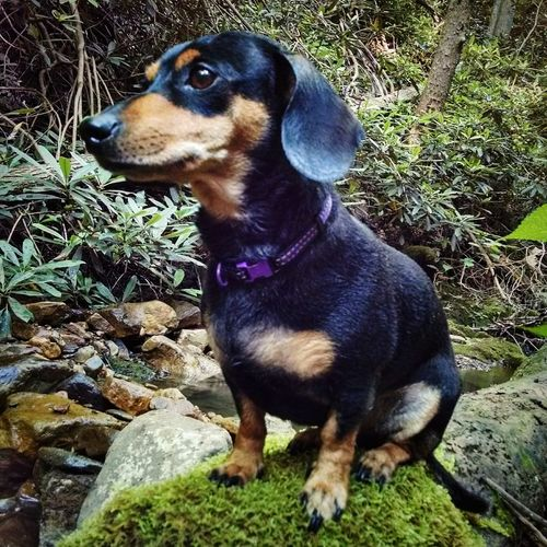Hiking with my lil Friend Dogs Nature Hiking Doxie Love Creek