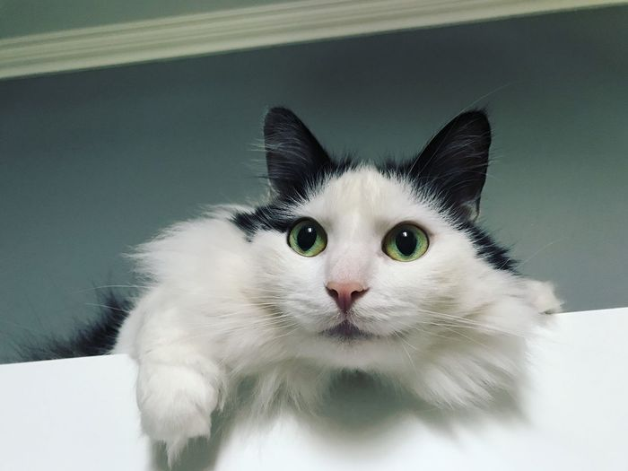 Zyama the cat Pet Portraits
