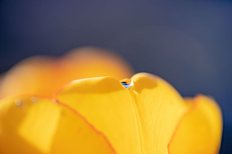 the drop Flower Close-up Fragility Yellow Petal Beauty In Nature Freshness Flowering Plant No People Plant Inflorescence Flower Head Focus On Foreground Springtime Soft Focus Softness Nature Drop Water Water Reflections Smooth