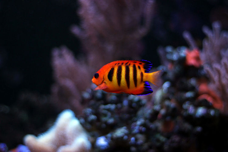 Coral Reef Fish Coral Fish Coral Reef Aquarium Reef Tank Reeftank Flame Angelfish Flame Angelfish Fish Tank Aquarium Life Aquarium Photography Aquatic Life Reef Fishes Aquaculture Fish Photography Aquarium Fish Aquatic Sea Water Swimming Sea Life Underwater Fish Aquarium