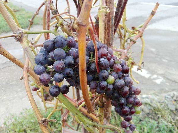 Growth Grape Plant Nature Fruit Bunch Vineyard Outdoors Healthy Eating Food No People Close-up Slowfood Vine - Plant No Person Veronica IONITA Photography WOLFZUACHiV Photography Huawei Photography On Market WOLFZUACHiV Photos Wolfzuachiv Veronica Ionita Ionita Veronica Eyeem Market Huaweiphotography
